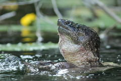 Accoppiamento della tartaruga di schiocco comune del maschio Fotografia Stock Libera da Diritti