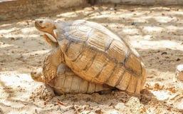 Accoppiamento della tartaruga di Sulcata Fotografie Stock Libere da Diritti