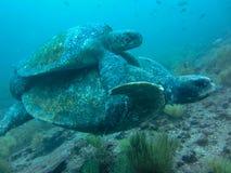 Accoppiamento della tartaruga marina due subacqueo sulle isole di galapagos Ecuador fotografia stock