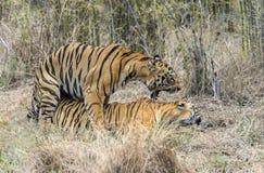 Accoppiamento della tigre Fotografia Stock