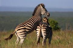 Accoppiamento della zebra Fotografie Stock Libere da Diritti