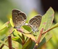 Accoppiamento delle coppie della farfalla Fotografie Stock Libere da Diritti