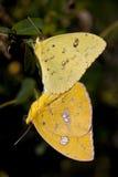 Accoppiamento delle farfalle. Immagine Stock