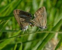 Accoppiamento delle farfalle e di vite Immagine Stock