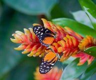 Accoppiamento delle farfalle tropicali rosse e nere Fotografia Stock