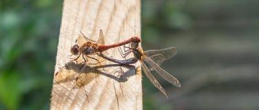 Accoppiamento delle libellule Fotografie Stock Libere da Diritti