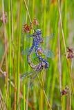 Accoppiamento delle libellule Fotografia Stock
