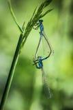 Accoppiamento delle libellule Immagini Stock