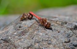 Accoppiamento delle libellule rosse Fotografia Stock Libera da Diritti