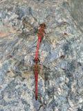 Accoppiamento delle libellule rosse Immagine Stock