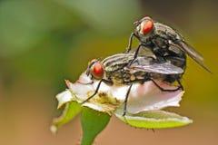 Accoppiamento delle mosche Fotografia Stock Libera da Diritti