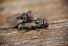 Accoppiamento delle mosche Immagine Stock