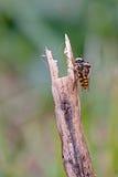 Accoppiamento delle mosche di librazione Fotografia Stock