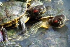 Tartarughe che si accoppiano fotografia stock immagine for Accoppiamento tartarughe