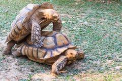 Accoppiamento delle tartarughe Fotografia Stock
