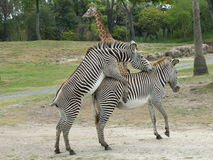 Accoppiamento delle zebre Immagine Stock