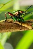 Accoppiamento dello scarabeo Fotografie Stock