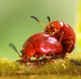 Accoppiamento dello scarabeo arancio Immagine Stock