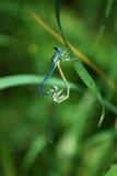 Accoppiamento di Enallagma Cyathigerum della libellula Fotografia Stock