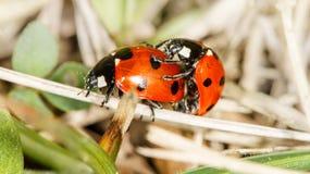 Accoppiamento di paia degli insetti di Ladybird Immagine Stock