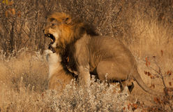 Accoppiamento fra i leoni Immagine Stock