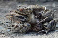 Accoppiamento maschio e femminile della rana Fotografie Stock