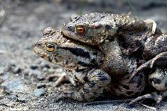 Accoppiamento maschio e femminile della rana Immagini Stock Libere da Diritti