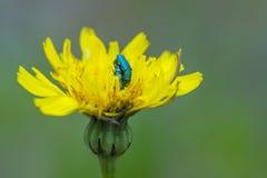 Accoppiamento metallico verde degli scarabei Fotografia Stock