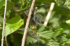 Accoppiamento peloso delle libellule fotografie stock