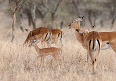 Accorde des gazelles Image libre de droits
