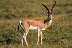 Accorde la gazelle Image stock