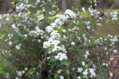White Viburnum Lil` Ditty Viburnum cassinoides Flowers Royalty Free Stock Images