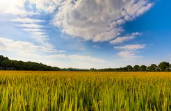 Mature rice. According to the type of rice, rice can be divided into indica and japonica rice, and rice, non glutinous rice and glutinous rice. There are other royalty free stock image