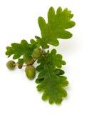 Accorns with oak leafs Stock Photo