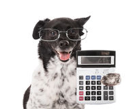 Accountant Dog With Calculator. On White Background Stock Images