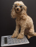 Accounting Dog Royalty Free Stock Image