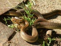 Accouplement Aesculapian de serpents photos stock
