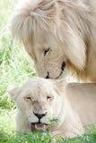 Accouplement blanc de lions Photo libre de droits