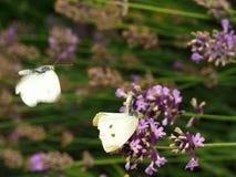 Accouplement blanc de papillons Image libre de droits