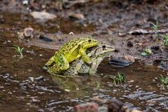 Accouplement coloré de grenouilles Images libres de droits