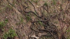 Accouplement dégrossi rouge de serpents de jarretière banque de vidéos