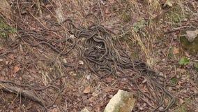 Accouplement dégrossi rouge de serpents de jarretière clips vidéos