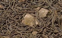 Accouplement dégrossi rouge de serpents de jarretière photos libres de droits