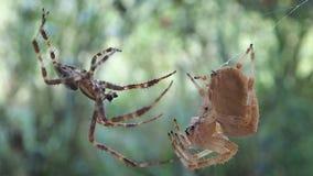 Accouplement d'araignées banque de vidéos
