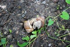 Accouplement d'escargots Images stock