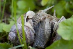 Accouplement d'escargots de Bourgogne (hélice Pomatia) Photos libres de droits