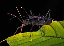Accouplement d'insecte de bâton Images libres de droits