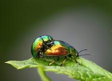 Accouplement d'insectes Photo libre de droits