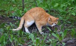 Accouplement d'un chat rouge à un chat gris dans l'herbe verte photographie stock