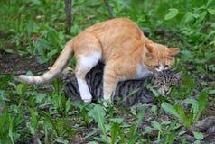Accouplement d'un chat rouge ? un chat gris dans l'herbe verte image stock